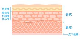 皮膚(ブログ用).png