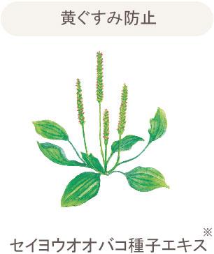 セイヨウオオバコ種子エキス